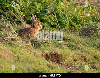 A Brown Hare (Lepus europaeus) takes in the late afternoon sun, Norfolk - Stock Photo