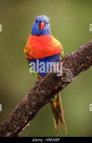 Rainbow Lorikeet, (Trichoglossus moluccanus), New South Wales, Australia - Stock Photo