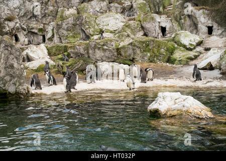Humboldt penguin (sphenisus humboldti), Schönbrunn Zoo,Vienna, Austria, Europe. - Stock Photo
