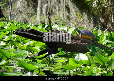 Pseudemys nelsoni, Florida redbelly cooter, resting on an old log - Stock Photo