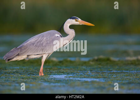 Grey Heron (Ardea cinerea), adult standing in the water - Stock Photo