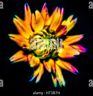 Colorful Macro of a Dahlia on Black Background - Stock Photo