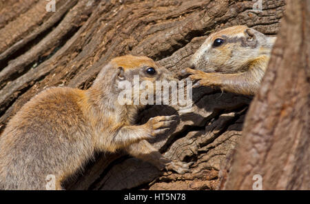 Two Juvenile Black-Tailed Prairie Dogs (cynomys ludovicianus) - Stock Photo