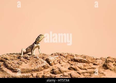 Sun Bathing Female Agama Lizard (Agama lionotus) - Stock Photo