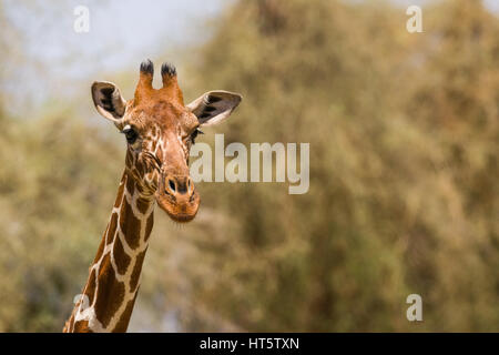 Portrait of a Reticulated giraffe (Giraffa camelopardalis reticulata), Samburu, Kenya - Stock Photo