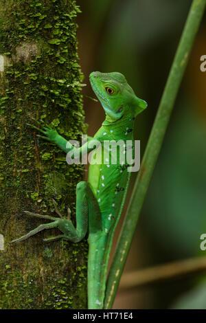 Plumed Basilisk, Green Basilisk, Double Crested Basilisk, Basiliscus plumifrons - Stock Photo