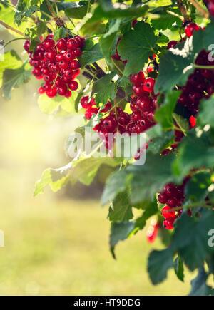 Redcurrants bush in the garden - Stock Photo