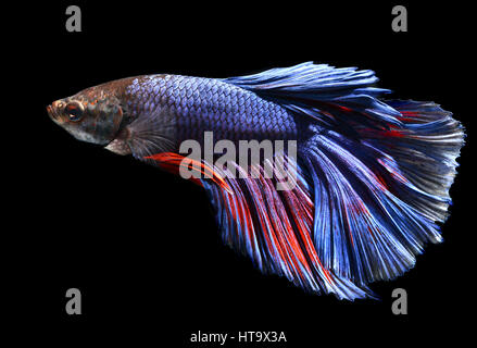 movement of life and colorful saimese fighting fish - Stock Photo