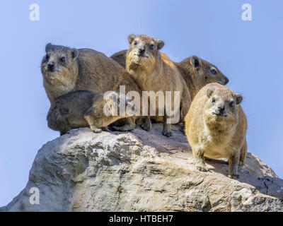 Rock or Cape Hyrax (Procavia capensis), Mapungubwe National Park, Limpopo, South Africa - Stock Photo