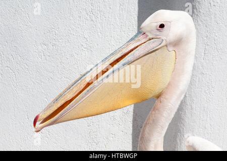 Petros, a great white pelican (Pelecanus onocrotalus), the mascot of Mykonos - Stock Photo
