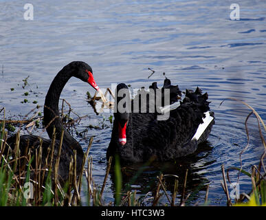 Lovely pair of black swans,Cygnus atratus, floating on lake surface in Trentham near Stoke on Trent,Staffordshire,United - Stock Photo