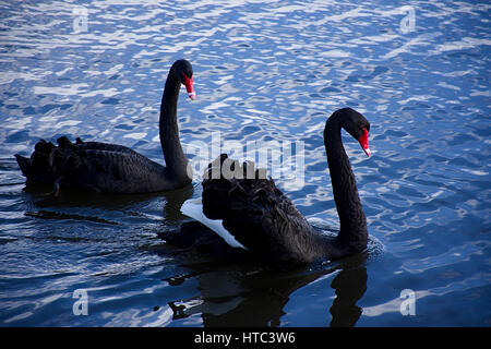 Pair of rare black swans,Cygnus atratus, floating on lake surface,Trentham near Stoke on Trent,Staffordshire,United - Stock Photo