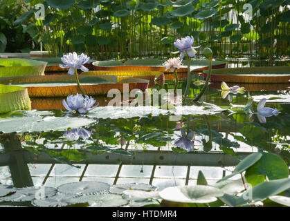 Blossoming Lotus flowers on a background of a large Victoria Amazonian lilies in the garden - Stock Photo