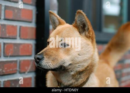 Medium brown Jindo dog - Stock Photo