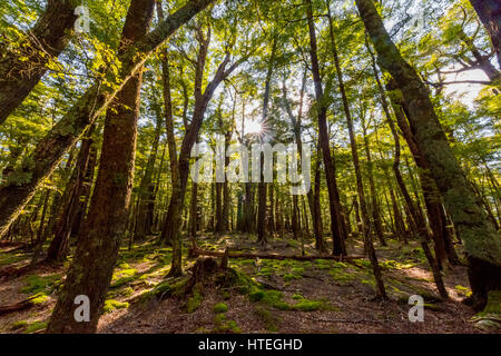 Sun shining through the trees, forest, Mount Aspiring National Park, Otago, Southland, New Zealand - Stock Photo