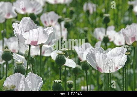 White Opium Poppy (Papaver Somniferum) growing in a Hampshire field - Stock Photo