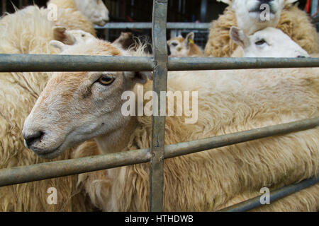 Sheep in a pen waiting to be sheared - Stock Photo