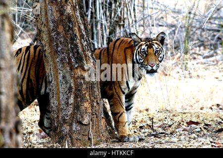 Tiger - Stock Photo