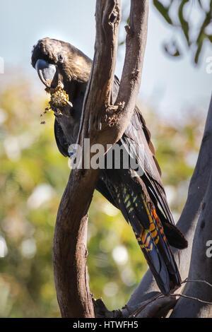 Glossy Black-cockatoo (Calyptorhynchus lathami) - Kangaroo Island, South Australia - Stock Photo