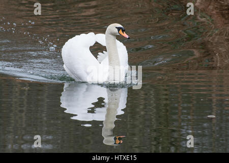 Mute swan (Cygnus olor) swimming on canal - Stock Photo