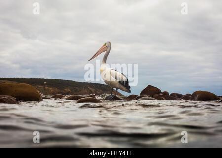 Pelican (Pelecanus conspicillatus) - Stock Photo