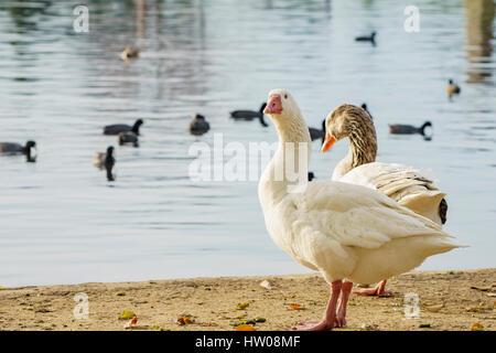 Beautiful Domestic Goose sitting at Lake Balboa - Stock Photo