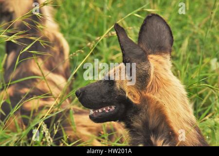 African wild dogs - Stock Photo