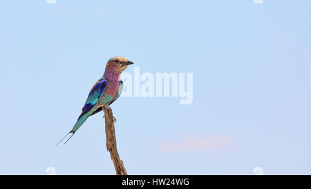 Adult lilac-breasted roller, or forked-tail roller, perched on a branch in Kruger National Park, South Africa. - Stock Photo