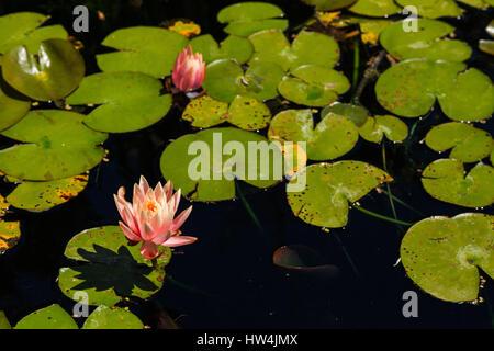 Water Lily (Nymphaea odorata), San Antonio, TX, USA - Stock Photo