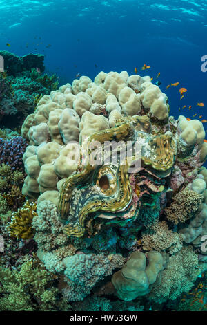 Giant Clam in Coral Reef, Tridacna maxima, Marsa Alam, Red Sea, Egypt - Stock Photo