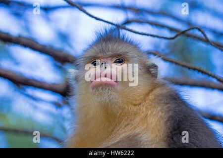 China, Yunnan province, Yunnan Snub-nosed Monkey (Rhinopithecus bieti) - Stock Photo