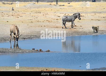 Zimbabwe, Matabeleland North Province, Hwange National Park, roan antelope (Hippotragus equinus), Zebra (equus burchelli) - Stock Photo