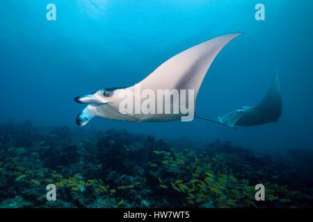 Reef Manta, Manta alfredi, North Male Atoll, Maldives - Stock Photo