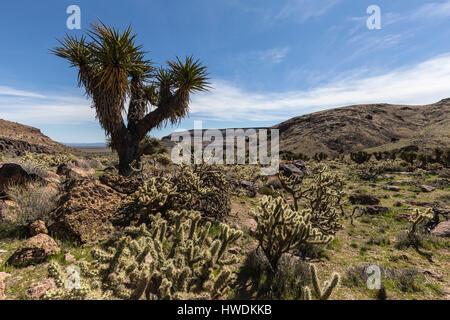 Desert garden along the Barber Loop trail in the Mojave National Preserve. - Stock Photo