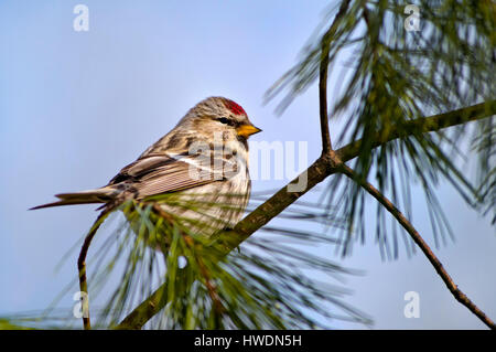 Common Redpoll bird on perch in pine tree during spring migration. - Stock Photo