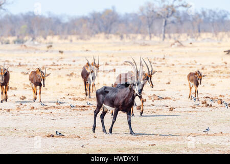 Sable Antelope Hippotragus niger seen in Zimbabwe's Hwange National Park - Stock Photo