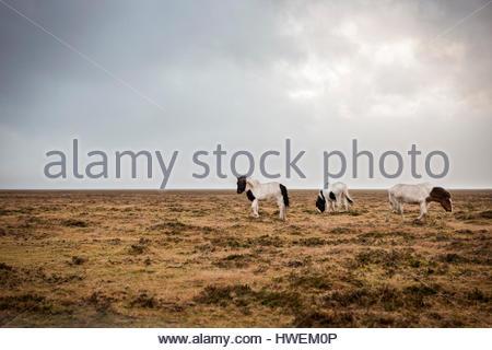 Icelandic horses, Hvolfsvollur, Iceland - Stock Photo