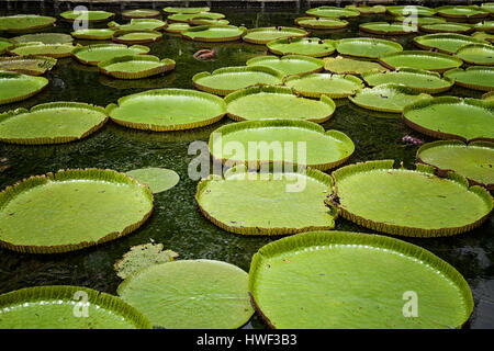 Giant water lilies (Victoria Amazonica)  Sir Seewoosagur Ramgoolam Botanic Garden, Mauritius, Pamplemousses, Port - Stock Photo