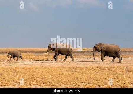 African elephants in Amboseli National Park, Kenya. - Stock Photo