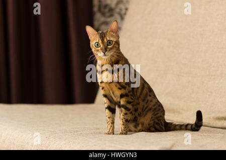 Cat of Bengali breed in a home setting sits on the couch - Stock Photo