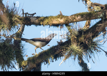 A Brown Jay (Psilorhinus moria) on a tree branch covered in epiphytes - Stock Photo