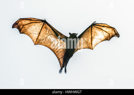 Black Flying Fox (Pteropus alecto) - Stock Photo