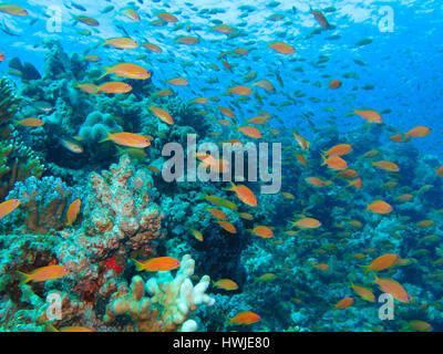 Juwelen-Fahnenbarsche , Pseudanthias squamipinnis, Korallenriff, St. Johns Riff, Rotes Meer, Aegypten - Stock Photo
