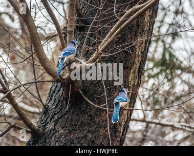 Pair of Blue Jay Birds at Central Park - New York, USA - Stock Photo