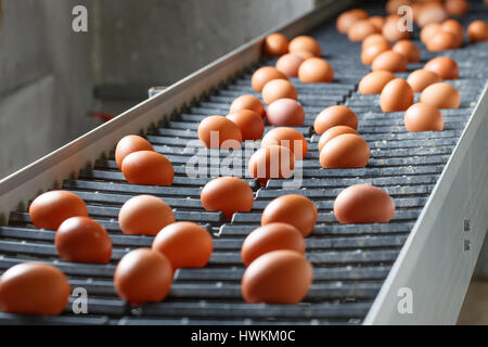 Fresh and raw chicken eggs on a conveyor belt, being moved to the packing house. Consumerism, egg production, automated - Stock Photo