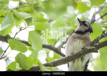 blue jay on a branch - Stock Photo