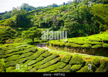 Tea plantations in Cameron Highlands, Malaysia. Green hills landscape - Stock Photo