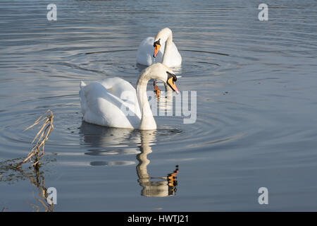 Pair of mute swans (Cygnus olor) - Stock Photo