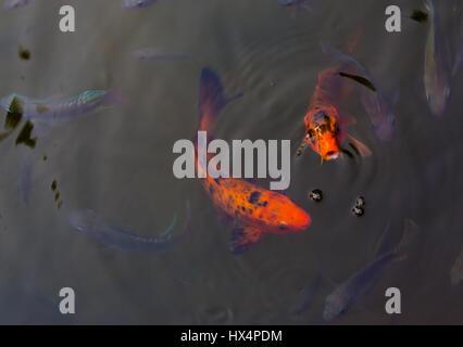 Two beautiful koi fish swimming in pond - Stock Photo