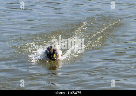 Male drake mallard duck swimming rapidly through pond water - Stock Photo
